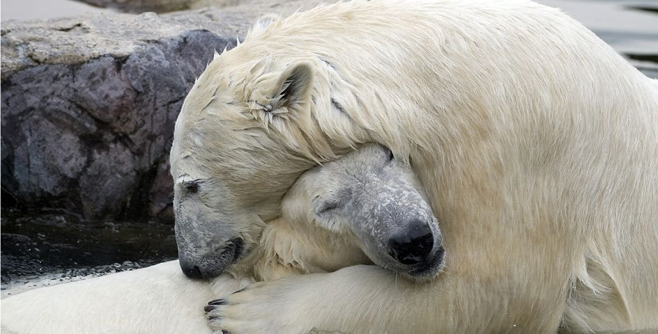 At a zoo in Germany, these polar bears are protected from the climate change that threatens their wild habitat.